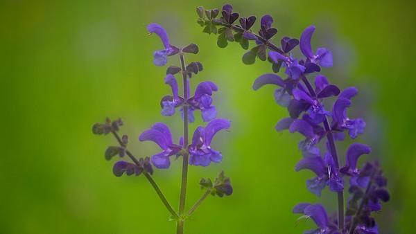Wiesensalbei  Salvia pratensis  - mehr dazu im Blog: Wildblumenwiese