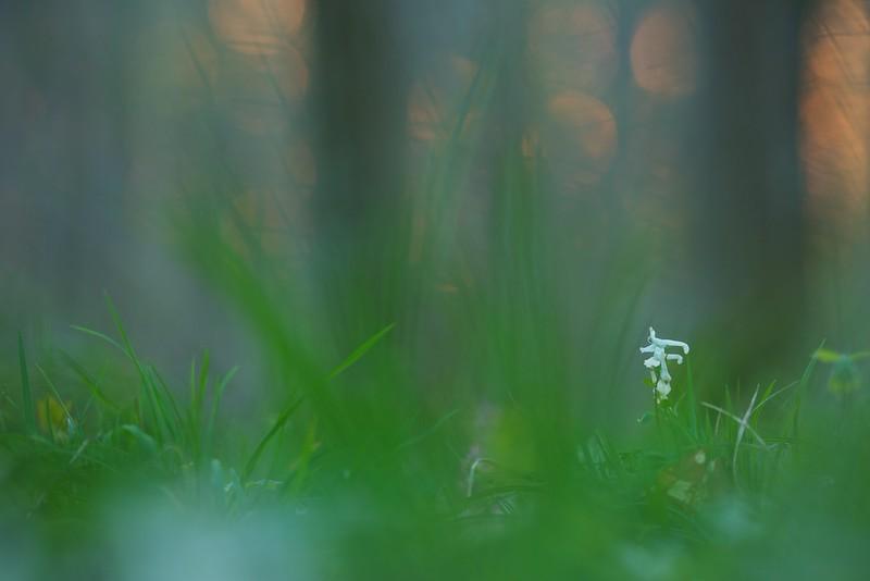 Lerchensporn (Corydalis) - Rheinauen