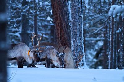 Rentiere auf Futtersuche - Lappland, Schweden  Reindeers looking for food - Lappland, Sweden