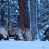 Rentiere auf Futtersuche - Lappland, Schweden <br /> Reindeers looking for food - Lappland, Sweden