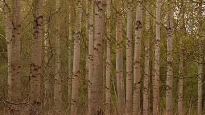 Pappelwald  Populus Forest  - mehr dazu im Blog: Pappelwald - Rheinauen