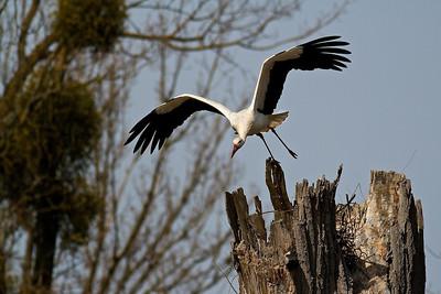 Start eines Weißstorchs (Ciconia ciconia) Start of a White Stork mehr dazu im Blog: Der Dschungel am Oberrhein