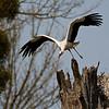 """Start eines Weißstorchs (Ciconia ciconia)<br /> Start of a White Stork<br /> mehr dazu im Blog: <a href=""""http://arnohelfer.wordpress.com/2011/08/22/der-dschungel-am-oberrhein/"""">Der Dschungel am Oberrhein</a>"""