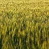 "Gerstenfeld (Hordeum vulgare), Enzkreis, Deutschland<br /> - mehr dazu im Blog: <a href=""http://arnohelfer.wordpress.com/2012/07/03/klatschmohn/"">Klatschmohn</a>"