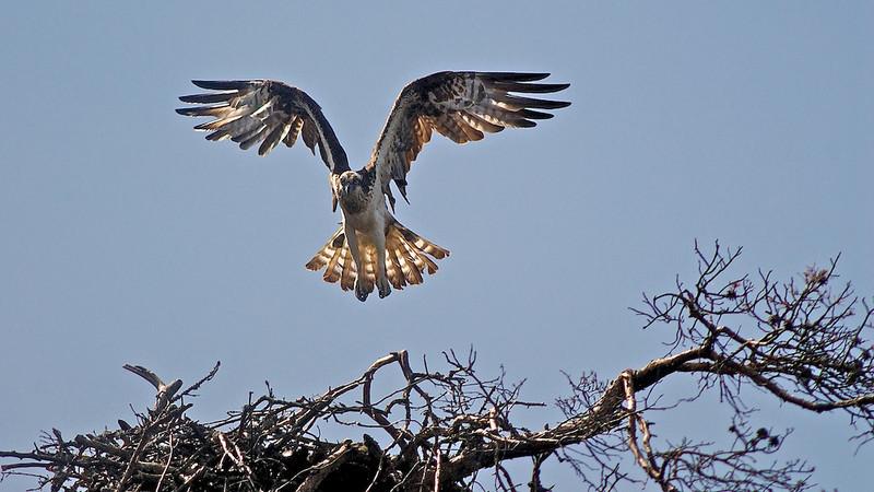 """Fischadler (Pandion haliaetus) <br /> Osprey <br /> mehr dazu im Blog: <a href=""""http://arnohelfer.wordpress.com/2011/04/06/reiseziele-in-schweden/"""">Reiseziele in Schweden</a>"""