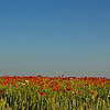 """Klatschmohn (Papaver rhoeas), Enzkreis, Deutschland<br /> - mehr dazu im Blog: <a href=""""http://arnohelfer.wordpress.com/2012/07/03/klatschmohn/"""">Klatschmohn</a>"""