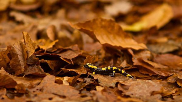 Feuersalamander (Salamandra salamandra) - Altschlossfelsen, Eppenbrunn, Deutschland  Fire Salamander - Altschlossfelsen, Eppenbrunn, Germany  - mehr dazu im Blog: Altschlossfelsen
