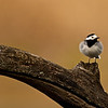 Bachstelze (Motacilla alba)<br /> White Wagtail