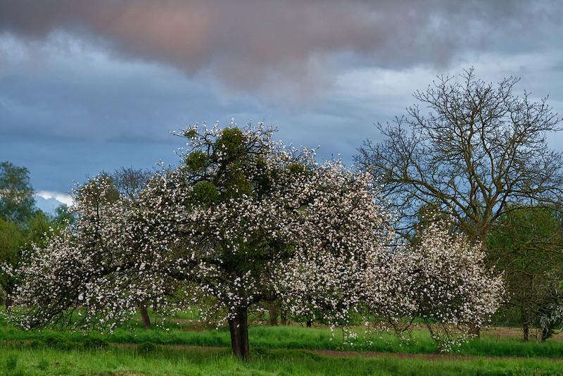 """Obstbaum in den Streuobstwiesen - Rheinauen, mittlerer Oberrhein, Deutschland<br /> Fruit Tree in a meadow, middle Upper Rhine, Germany<br /> - mehr dazu im Blog: <a href=""""http://arnohelfer.wordpress.com/2012/05/16/gewitterhimmel/"""">Gewitterhimmel</a>"""