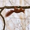 """Eichhörnchen (Sciurus vulgaris),<br /><br />  Red squirrel<br /><br /> - mehr dazu im Blog: <br /><a href=""""http://arnohelfer.wordpress.com/2013/03/24/kleine-kunstturner/"""">Kleine Kunstturner</a><br />"""