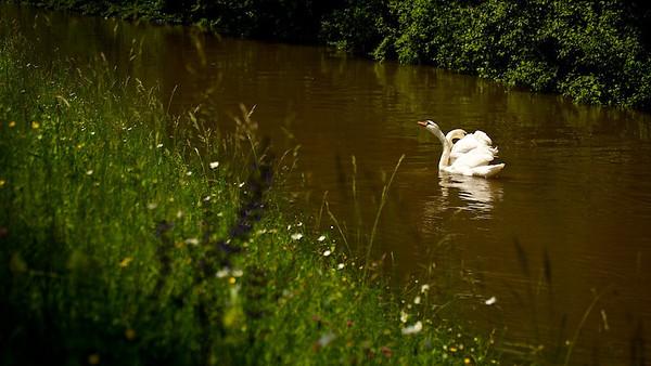 Höckerschwäne im braunen Hochwasser  Mute Swans in brown flood  - mehr dazu im Blog: Der braune Rhein
