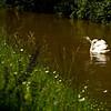 """Höckerschwäne im braunen Hochwasser<br /><br />  Mute Swans in brown flood<br /><br />  - mehr dazu im Blog: <a href=""""http://arnohelfer.wordpress.com/2013/06/03/der-braune-rhein/"""">Der braune Rhein</a>"""