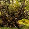 """Kiefernurwald Hede Urskog - Härjedalen,  Schweden<br /> Pineforest Hede Urskog - Härjedalen, Sweden<br /><br /> - mehr dazu im Blog: <br /><a href=""""http://arnohelfer.wordpress.com/2012/10/18/uralt-waldkiefern-im-detail/"""">Uralt - Waldkiefern im Detail</a><br /><a href=""""http://arnohelfer.wordpress.com/2012/07/22/hede-urskog-kiefernurwald-in-schweden/"""">Hede Urskog - Kiefernurwald in Schweden</a><br />"""