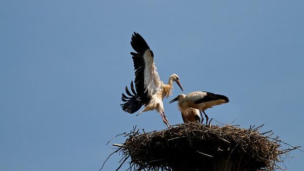 Junge Weißstörche (Ciconia ciconia), Rheinauen am mittleren Oberrhein bei Elchesheim-Illingen, Deutschland Young White Stork in Flight, Germany - mehr dazu im Blog: Flugpremiere der Jungstörche