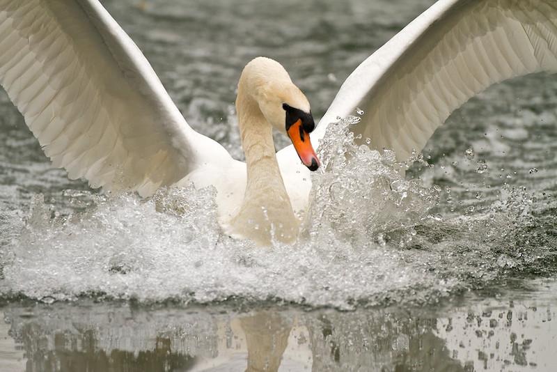 Höckerschwan, Mute Swan