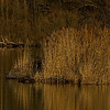 Swan in 'golden' Light<br /> Schwan im 'goldenen' Licht