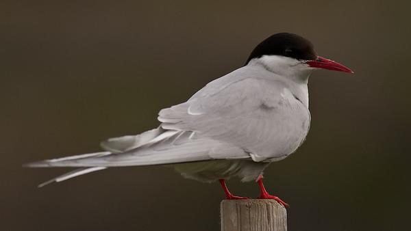 Arctic Tern, Küstenseeschwalbe (Sterna paradisaea)