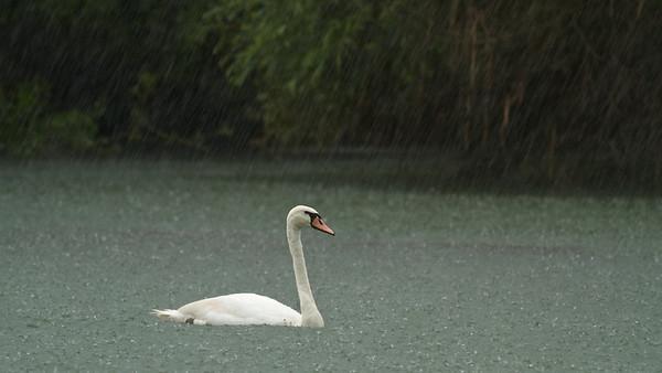 Höckerschwan im strömenden Regen auf dem Altrhein - Rheinauen am mittleren Oberrhein, Deutschland