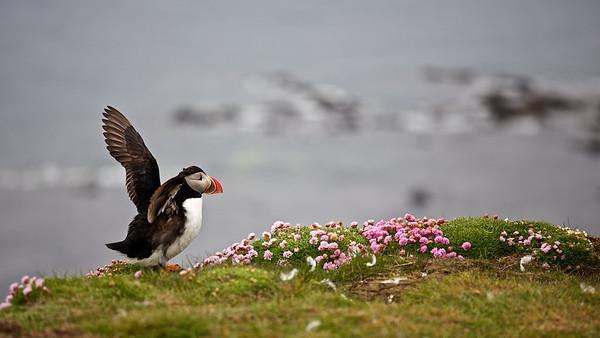 Lundi - Papageitaucher (Fratercula arctica), Látrabjarg, Westfjorde,Vestfirðir - Island Atlantic Puffin, Látrabjarg, Westfjords, Vestfirðir - Iceland   - mehr dazu im Blog: Island - 10 Tage, 10 Bilder