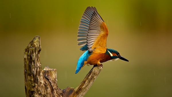 Eisvogel (Alcedo atthis), Common kingfisher