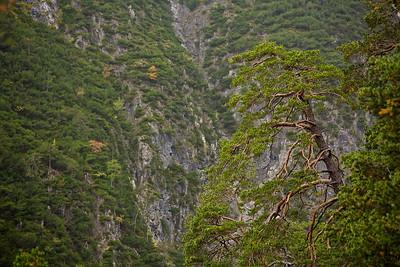 Kiefer (Pinus) - Zams. Tirol, Österreich