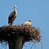 """Junge Weißstörche (Ciconia ciconia), Rheinauen am mittleren Oberrhein bei Elchesheim-Illingen, Deutschland<br /> Young White Stork in Flight, Germany<br /> - mehr dazu im Blog: <a href=""""http://arnohelfer.wordpress.com/2012/07/07/flugpremiere-der-jungstorche/"""">Flugpremiere der Jungstörche</a>"""