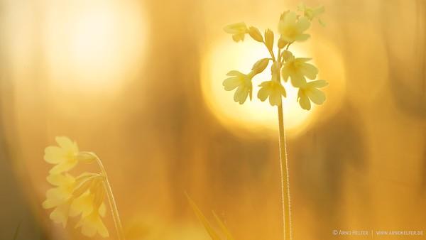Schlüsselblume im Gegenlicht (Primula) - Rheinauen