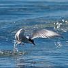 "Küstenseeschwalben  (Sterna paradisaea) am Jökulsárlón - Island<br /><br />  Arctic Terns at Jökulsárlón - Iceland<br /><br />  - mehr dazu im Blog: <a href=""http://arnohelfer.wordpress.com/2013/07/29/jokulsarlon/"">Jökulsárlón</a>"