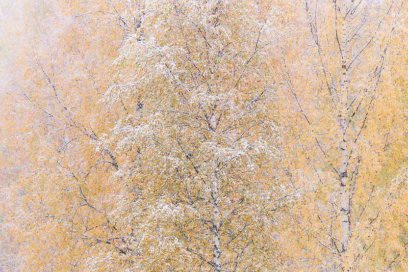 nordic birches