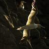 Basstölpel (Morus bassanus), Northern Gannet, Insel Runde, Norwegen