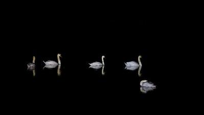 Black and white - mute swan, Höckerschwan (Cygnus olor)