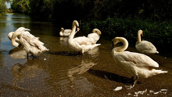 Höckerschwäne (Cygnus olor) im Hohwasser, Altrhein bei Au am Rhein, Deutschland Mute Swan (Cygnus olor) in flood, Old Rhine near Au am Rhein, Germany - mehr dazu im Blog: Waschstraße