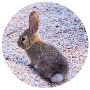 Desert bunny at Joshua Tree National Park
