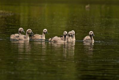 Höckerschwan-Kinder Mute Swan Kids  - mehr dazu im Blog: Ein Morgen am Altrhein