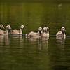 """Höckerschwan-Kinder<br /> Mute Swan Kids <br /> - mehr dazu im Blog: <a href=""""http://arnohelfer.wordpress.com/2011/06/05/ein-morgen-am-altrhein/"""">Ein Morgen am Altrhein</a>"""