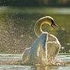 Höckerschwan (Cygnus olor) beim Bad / Mute Swan takes a bath