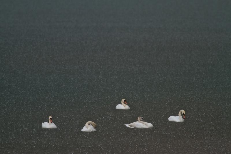 Höckerschwäne auf dem Rhein im strömenden Regen - bei Au am Rhein, Deutschland<br /> Mute swans on the Rhine in the pouring rain - near Au am Rhein, Germany