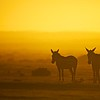 Mountain zebras in sunrise