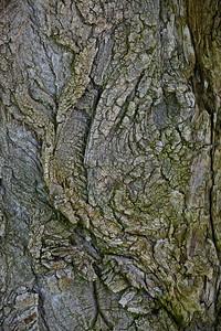 Rinde einer Schwarz-Pappel (Populus nigra)