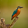Eisvogel (Alcedo atthis),<br /> Common kingfisher