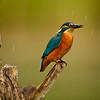 Eisvogel (Alcedo atthis),<br /> Common kingfisher