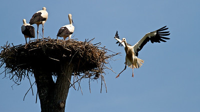 Landeanflug - Junge Weißstörche (Ciconia ciconia), Rheinauen am mittleren Oberrhein bei Elchesheim-Illingen, Deutschland Young White Stork landing, Germany - mehr dazu im Blog: Flugpremiere der Jungstörche   - mehr dazu im Blog: Der Rhein von oben - Dreharbeiten  - mehr dazu im Blog: Rheinauen Kalender 2013
