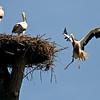"""Landeanflug - Junge Weißstörche (Ciconia ciconia), Rheinauen am mittleren Oberrhein bei Elchesheim-Illingen, Deutschland<br /> Young White Stork landing, Germany<br /> - mehr dazu im Blog: <a href=""""http://arnohelfer.wordpress.com/2012/07/07/flugpremiere-der-jungstorche/"""">Flugpremiere der Jungstörche</a>  <br /> - mehr dazu im Blog: <a href=""""http://arnohelfer.wordpress.com/2012/10/14/der-rhein-von-oben-dreharbeiten/"""">Der Rhein von oben - Dreharbeiten</a> <br /> - mehr dazu im Blog: <br /><a href=""""http://arnohelfer.wordpress.com/2012/11/30/rheinauen-kalender-2013-2/"""">Rheinauen Kalender 2013</a><br />"""