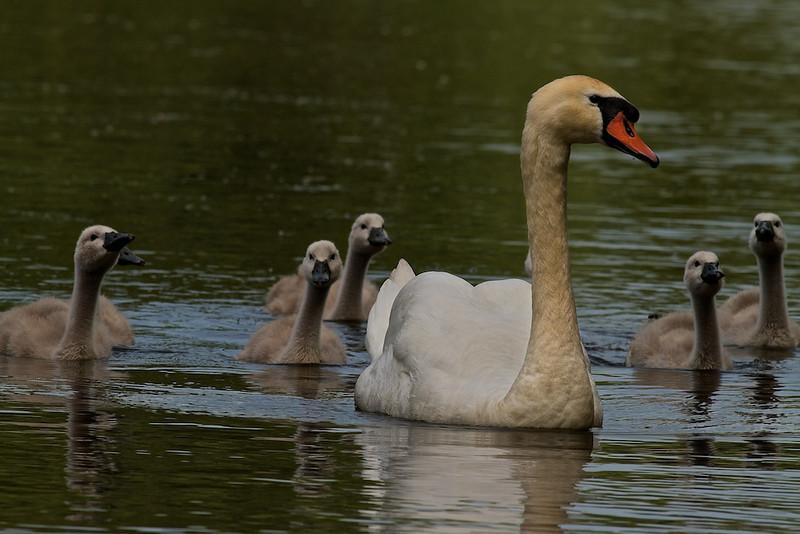 """Höckerschwan-Familie<br /> Mute Swan Family <br /> - mehr dazu im Blog: <a href=""""http://arnohelfer.wordpress.com/2011/06/05/ein-morgen-am-altrhein/"""">Ein Morgen am Altrhein</a>"""