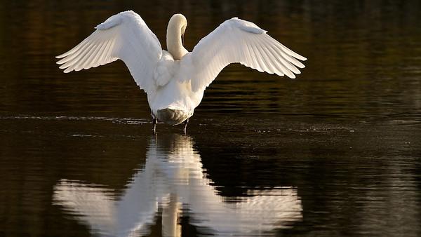 Höckerschwan zeigt sein Gefieder - Rheinauen bei Au am Rhein, Deutschland Mute Swan shows his plumage - Rheinauen near Au am Rhein, Germany