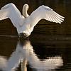 Höckerschwan zeigt sein Gefieder - Rheinauen bei Au am Rhein, Deutschland<br /> Mute Swan shows his plumage - Rheinauen near Au am Rhein, Germany