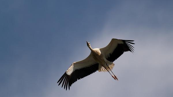 Junger Weißstorch im Flug (Ciconia ciconia), Rheinauen am mittleren Oberrhein bei Elchesheim-Illingen, Deutschland Young White Stork in Flight, Germany - mehr dazu im Blog: Flugpremiere der Jungstörche