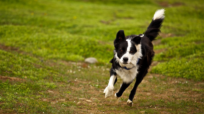 Icelandic Border Collie