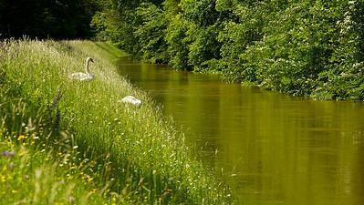 Höckerschwäne am Hochwasserdamm  Mute Swans on flood dam  - mehr dazu im Blog: Der braune Rhein
