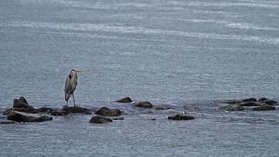 Graureiher am Rhein im strömenden Regen - bei Au am Rhein, Deutschland Grey heron on the Rhine in the pouring rain - near Au am Rhein, Germany